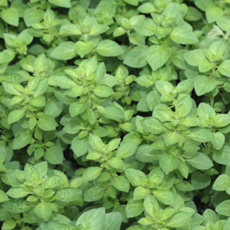 Therapeutic Oregano Essential OIl