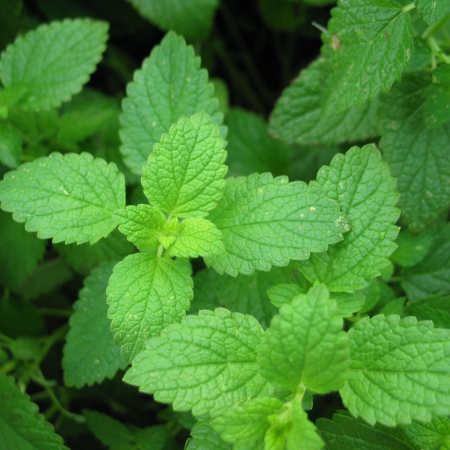 Therapeutic Peppermint Essential Oil