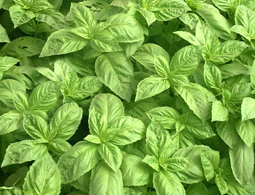 Top 5 Uses for Basil Essential Oil | Davina Wellness